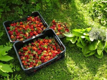 Hodowanie owoców w ogrodzie